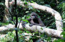 gorille du Congo