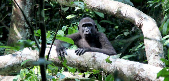 A la rencontre des gorilles du Congo